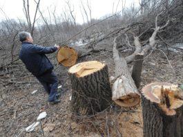В Ульяновском районе нарубили дубов на 3,8 миллиона рублей черные лесорубы,ульяновск не законная вырубка деревьев, криминал Ульяновск,