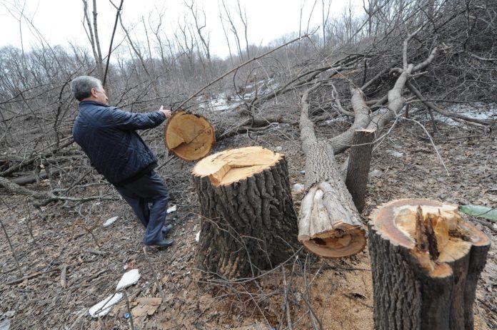 Депутат получил условный срок за незаконную вырубку 17 дубов на 1,3 млн рублей Ульяновск черные лесорубы, депутат срубил деревья