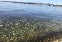 Тепла еще не было, а зелень на подходе: Волга зацвела.