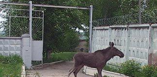 Ульяновцы обнаружили лосей, которые разгуливали по гаражному кооперативу. Видео